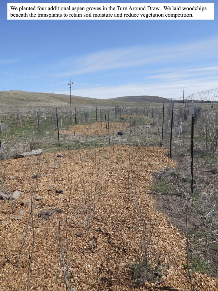 We planted four additional aspen groves in the Turn Around Draw.