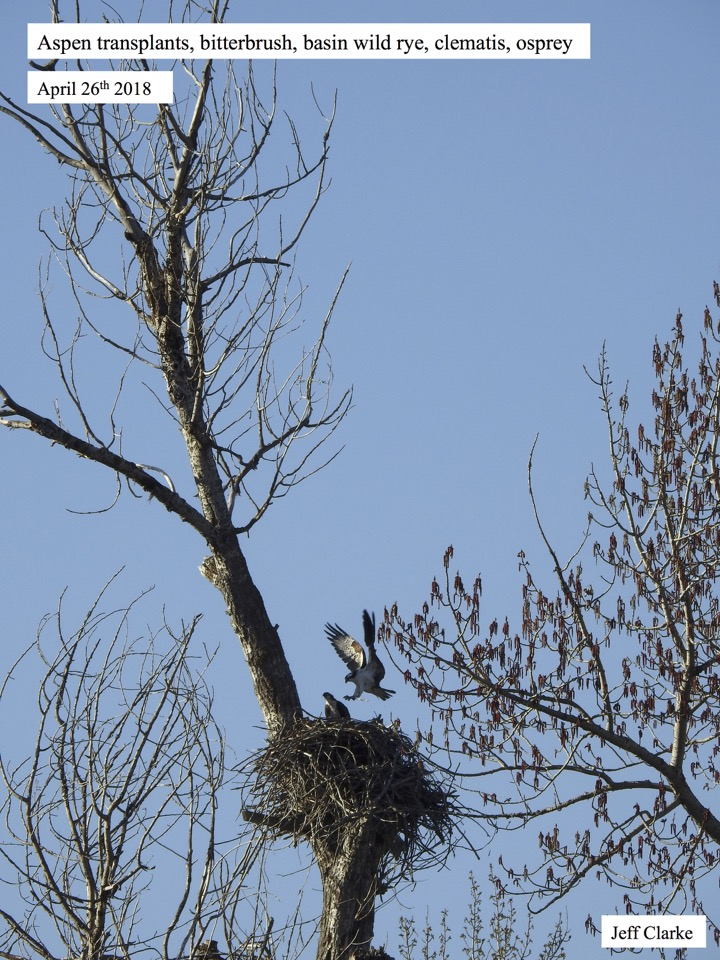 Aspen transplants, bitterbrush, basin wild rye, clematis, osprey