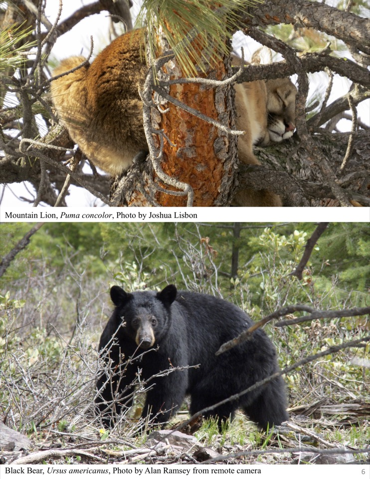 Bear and Mountain Lion