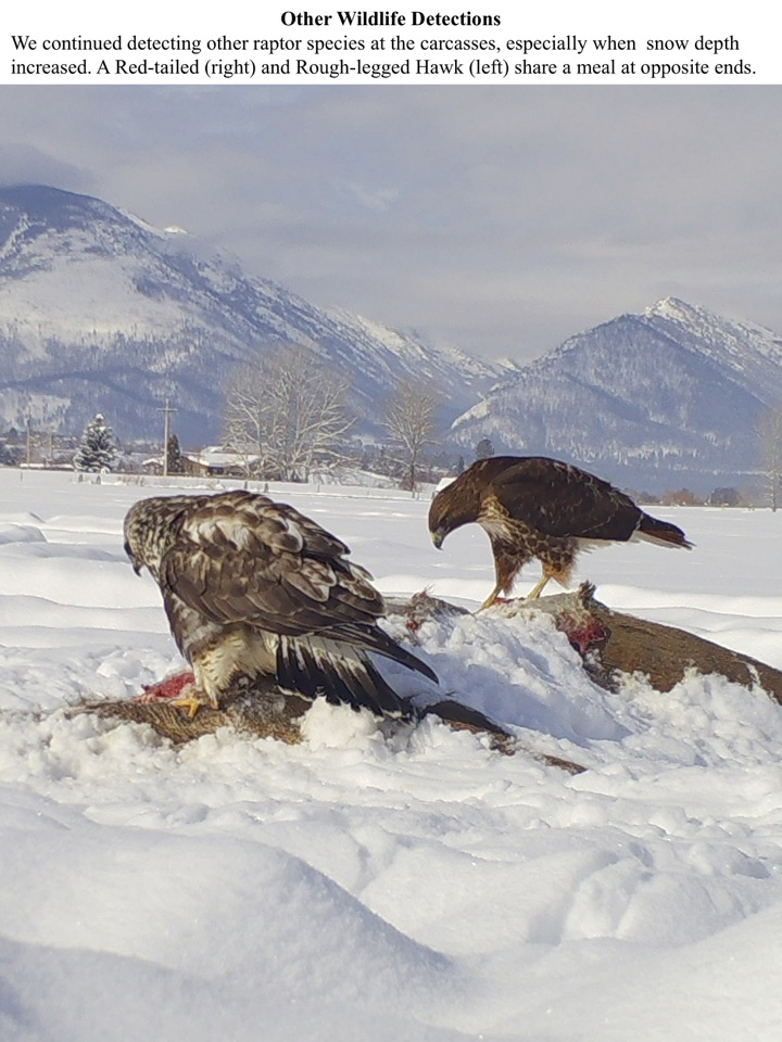 We continued detecting other raptor species at the carcasses, especially when snow depth increased.