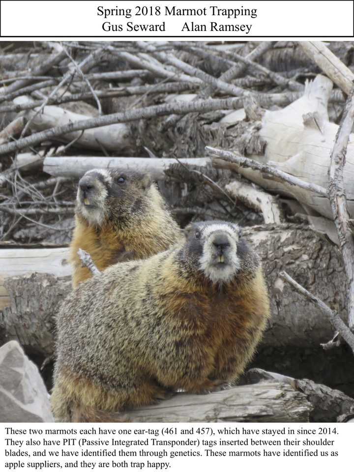 These two marmots each have one ear-tag (461 and 457), which have stayed in since 2014