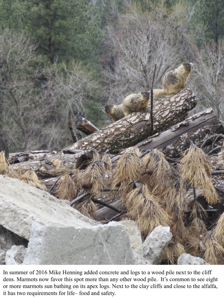 In summer of 2016 Mike Henning added concrete and logs to a wood pile next to the cliff dens. Marmots now favor this spot more than any other wood pile.