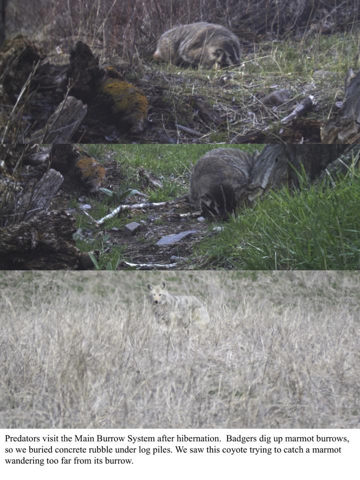 Badgers dig up marmot burrows, so we buried concrete rubble under log piles.