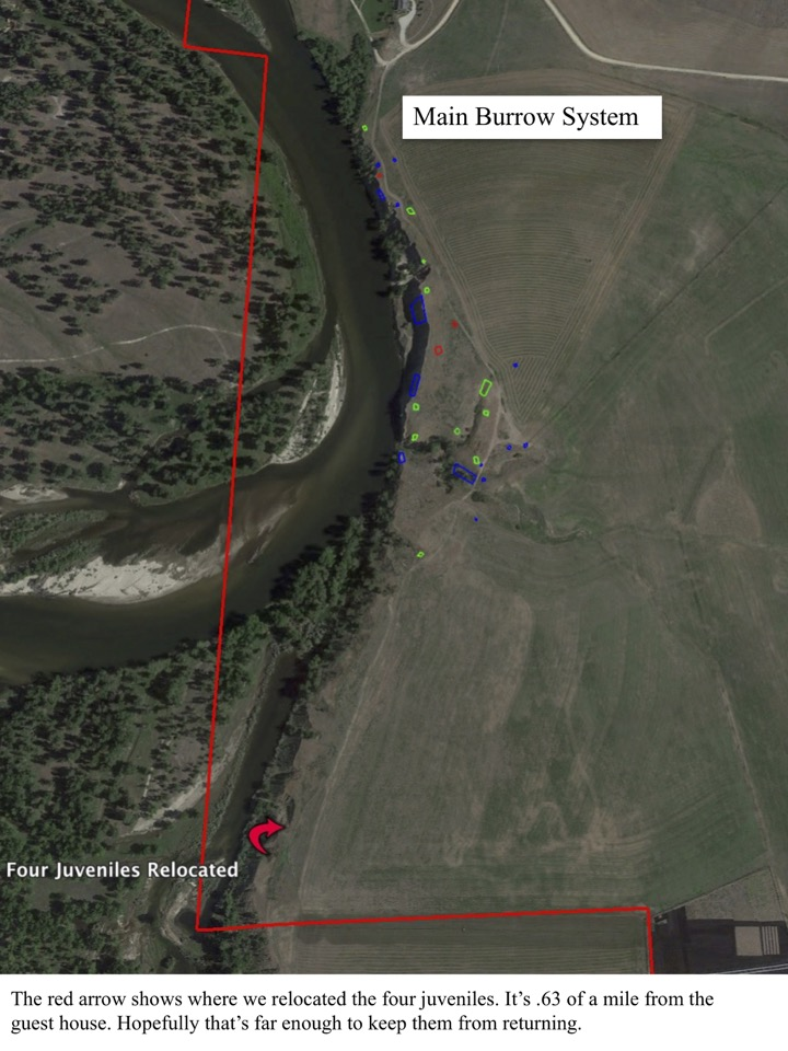 The red arrow shows where we relocated the four juveniles