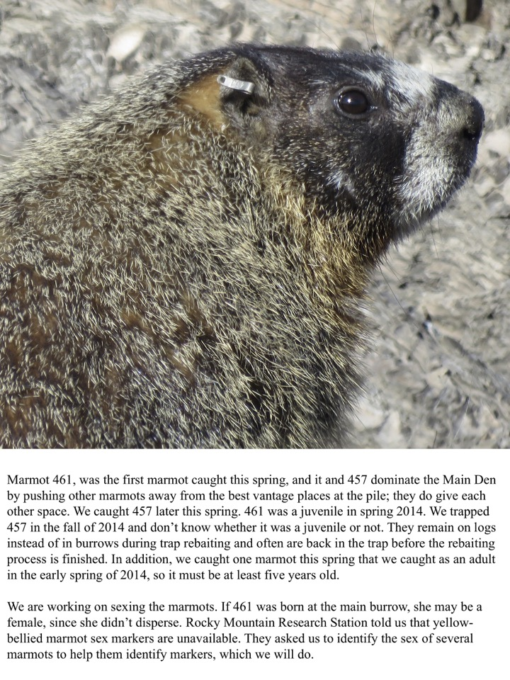Marmot 461, was the first marmot caught this spring, and it and 457 dominate the Main Den by pushing other marmots away from the best vantage places at the pile; they do give each other space.