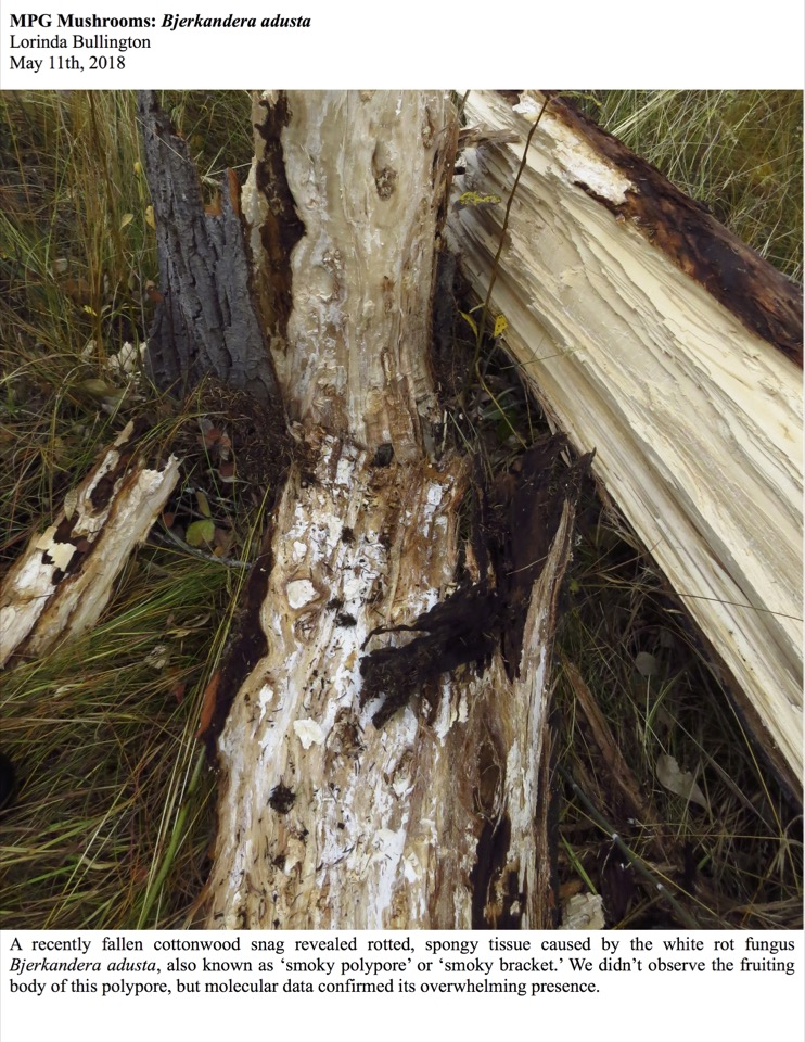 MPG Mushrooms: Bjerkandera adusta Lorinda Bullington May 11th, 2018 A recently fallen cottonwood snag revealed rotted, spongy tissue caused by the white rot fungus Bjerkandera adusta, also known as 'smoky polypore' or 'smoky bracket.'