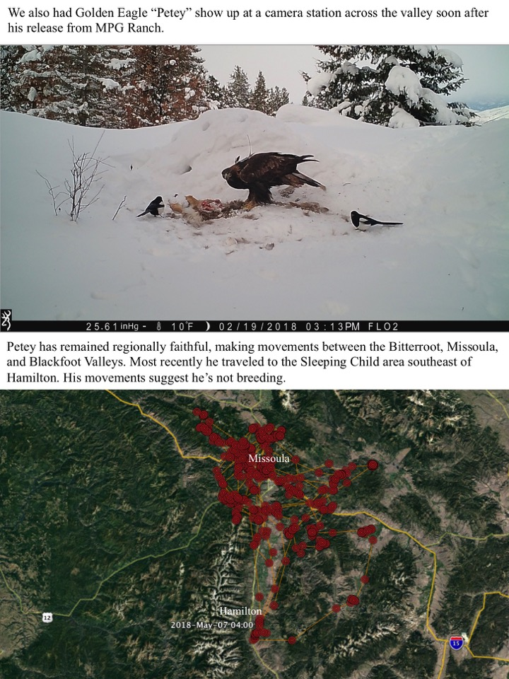 """We also had Golden Eagle """"Petey"""" show up at a camera station across the valley soon after his release from MPG Ranch."""
