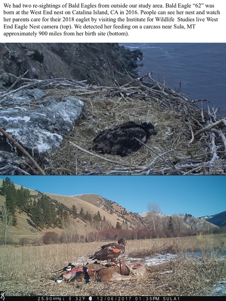 The deployment of a horse carcass in the Burnt Fork drainage east of Stevensville yielded over 30 Bald Eagles at once, creating a neighborhood spectacle.