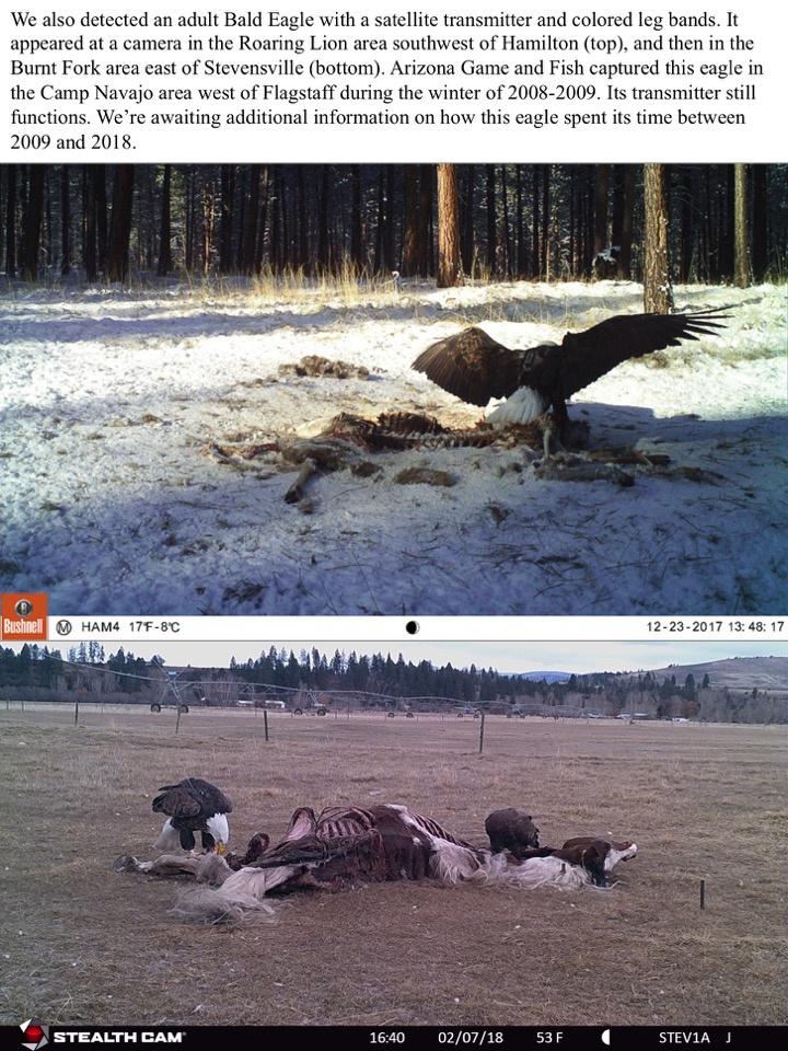We also detected an adult Bald Eagle with a satellite transmitter and colored leg bands.