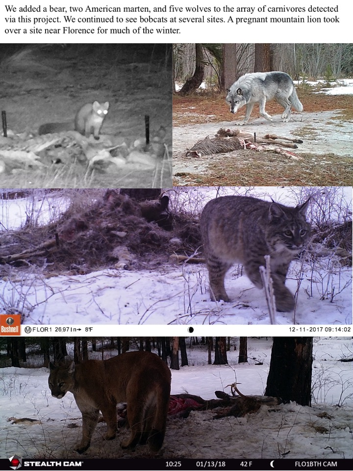 We added a bear, two American marten, and five wolves to the array of carnivores detected via this project. We continued to see bobcats at several sites. A pregnant mountain lion took over a site near Florence for much of the winter.