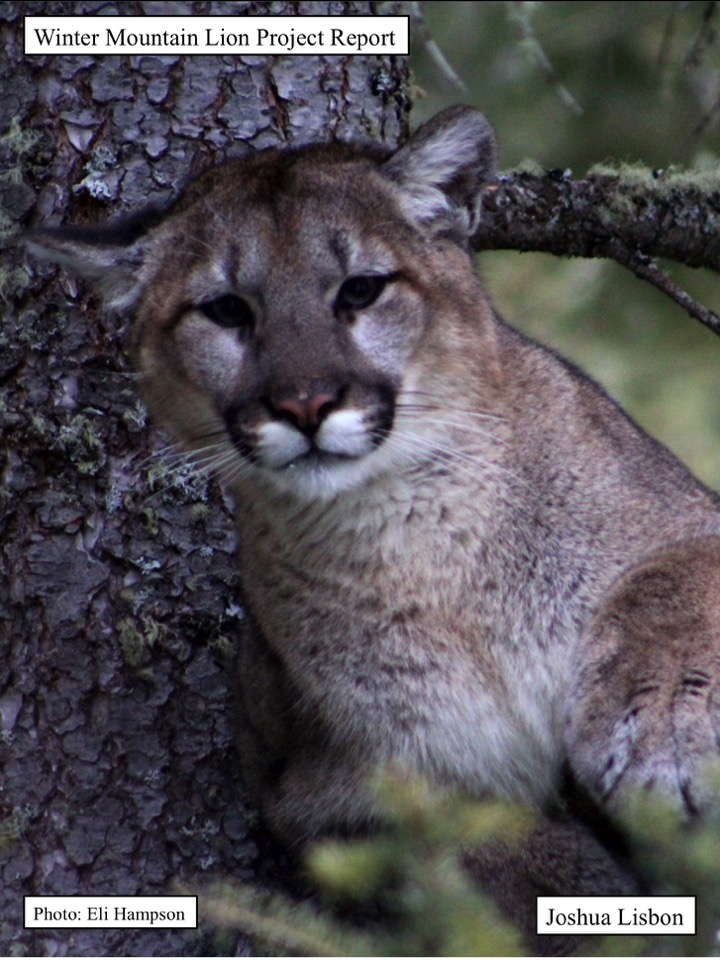 Winter Mountain Lion Project Report