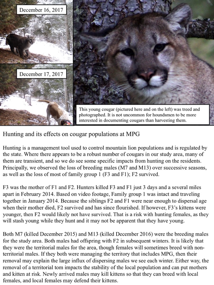 Hunting and its effects on cougar populations at MPG