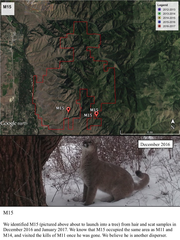 We identified M15 (pictured above about to launch into a tree) from hair and scat samples in December 2016 and January 2017.