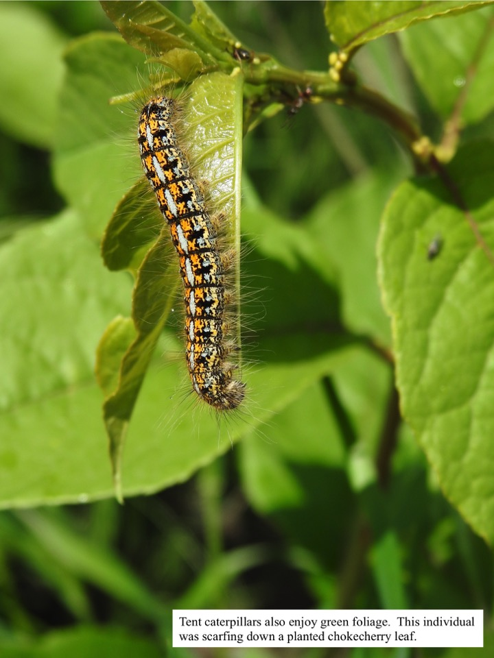 Tent caterpillars also enjoy green foliage.