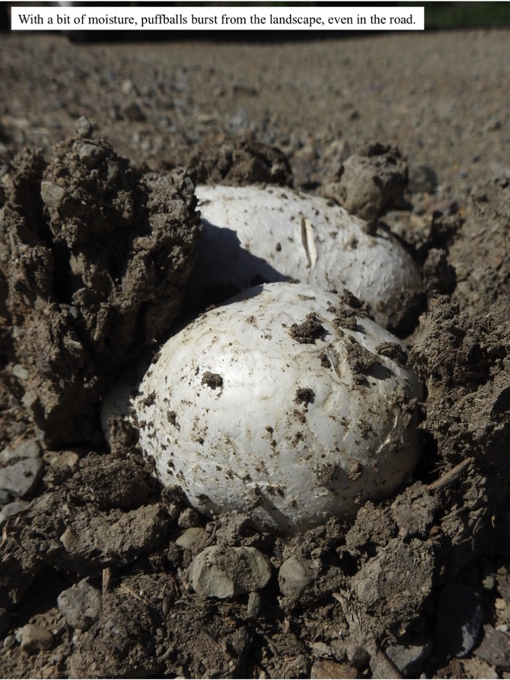 With a bit of moisture, puffballs burst from the landscape, even in the road