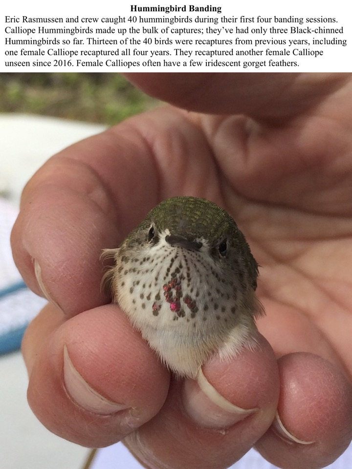 Eric Rasmussen and crew caught 40 hummingbirds during their first four banding sessions