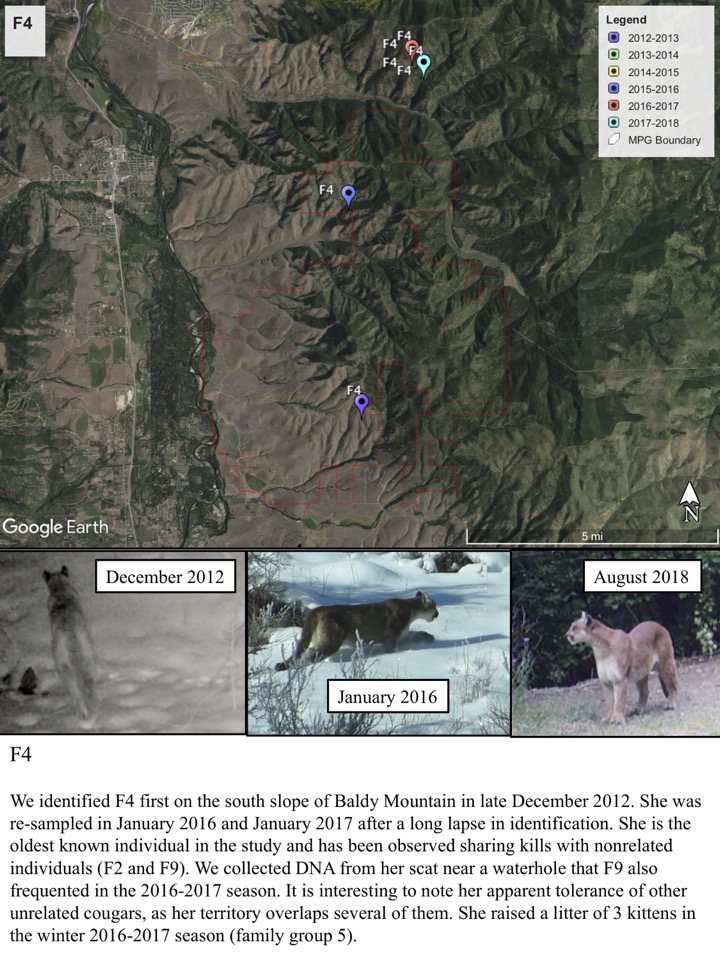 We identified F4 first on the south slope of Baldy Mountain in late December 2012. She was re-sampled in January 2016 and January 2017 after a long lapse in identification.