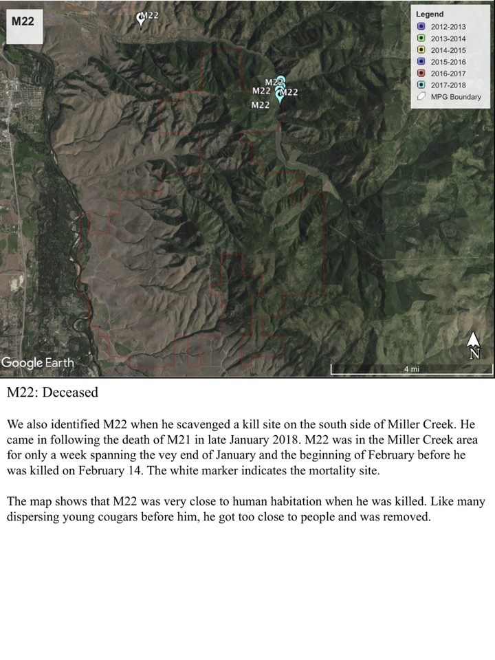 We also identified M22 when he scavenged a kill site on the south side of Miller Creek.