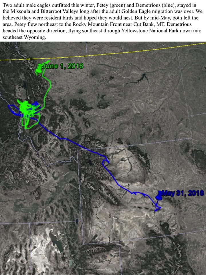 Two adult male eagles outfitted this winter, Petey (green) and Demetrious (blue), stayed in the Missoula and Bitterroot Valleys long after the adult Golden Eagle migration was over.