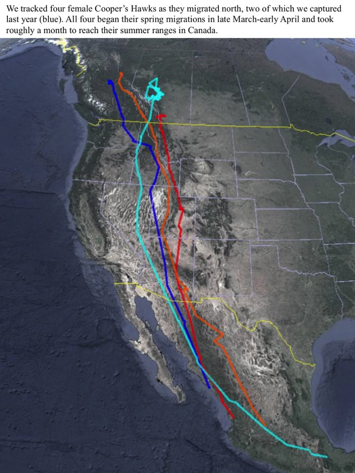 We tracked four female Cooper's Hawks as they migrated north, two of which we captured last year (blue).