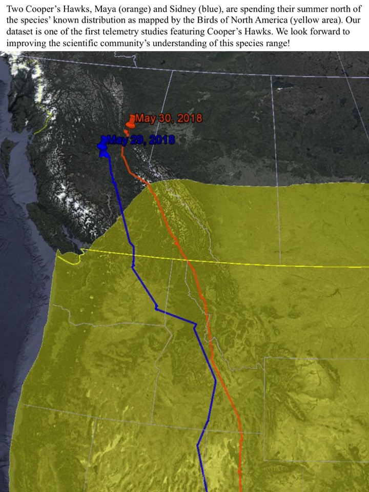 Two Cooper's Hawks, Maya (orange) and Sidney (blue), are spending their summer north of the species' known distribution as mapped by the Birds of North America (yellow area).