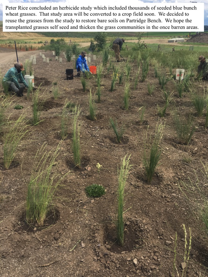 Peter Rice concluded an herbicide study which included thousands of seeded blue bunch wheat grasses.