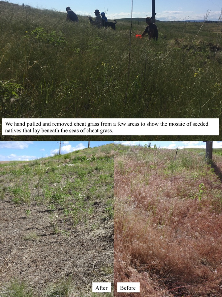 We hand pulled and removed cheat grass from a few areas to show the mosaic of seeded natives that lay beneath the seas of cheat grass.
