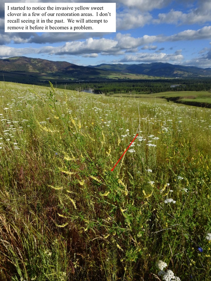 I started to notice the invasive yellow sweet clover in a few of our restoration areas