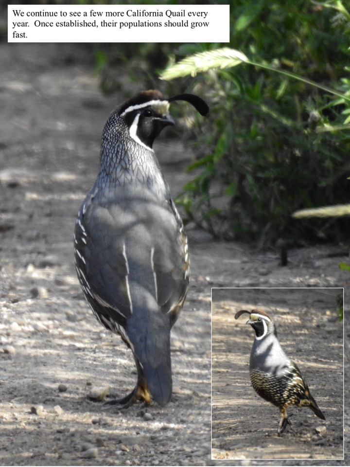 We continue to see a few more California Quail every year.