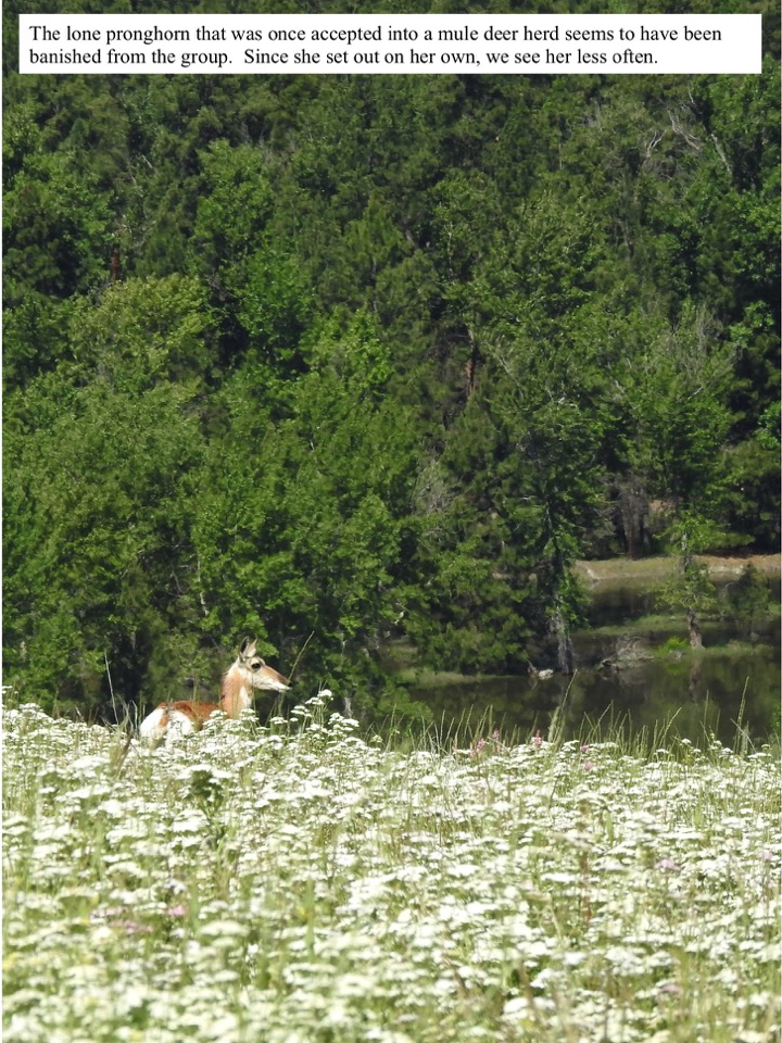 The lone pronghorn that was once accepted into a mule deer herd seems to have been banished from the group.