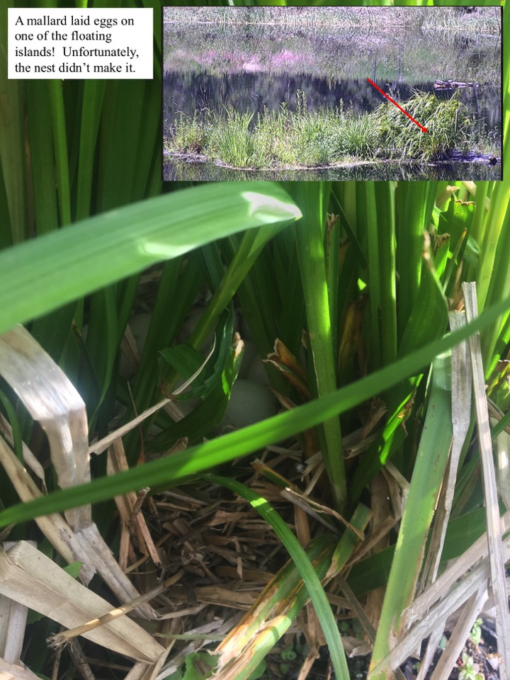 A mallard laid eggs on one of the floating islands!