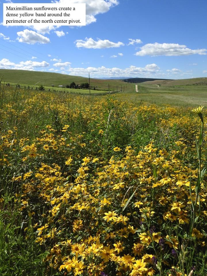 Maximillian sunflowers create a dense yellow band around the perimeter of the north center pivot.