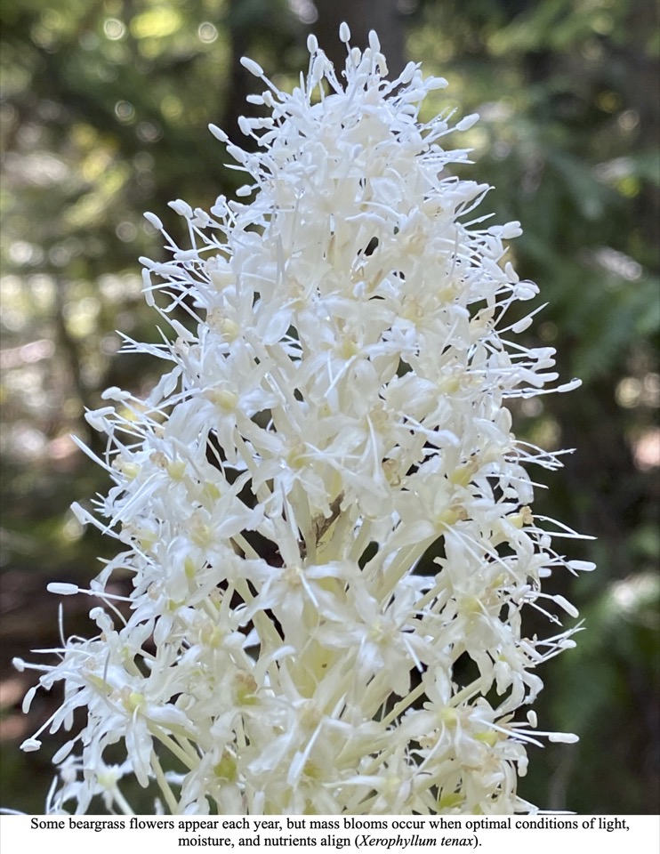 Some beargrass flowers appear each year, but mass blooms occur when optimal conditions of light, moisture, and nutrients align