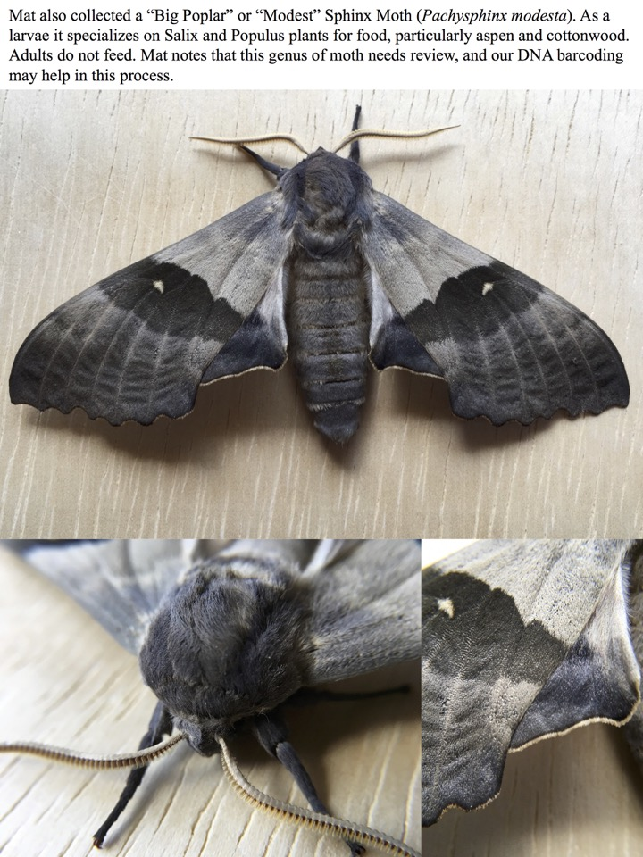 "Mat also collected a ""Big Poplar"" or ""Modest"" Sphinx Moth"