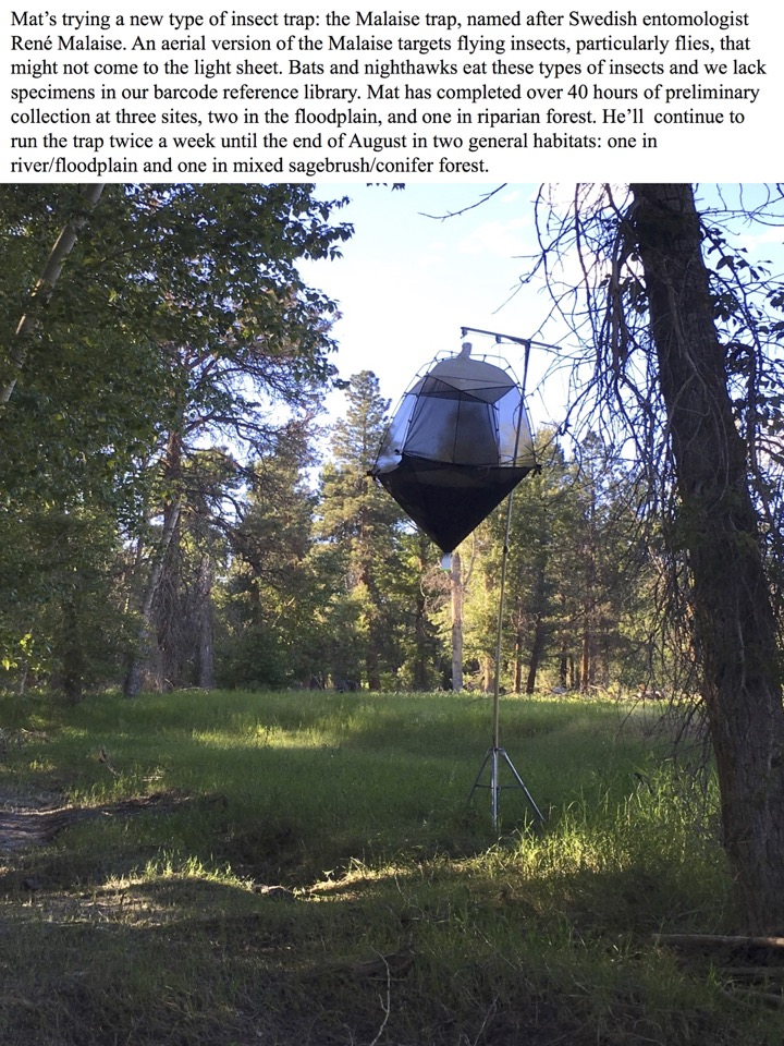 Mat's trying a new type of insect trap: the Malaise trap, named after Swedish entomologist René Malaise.