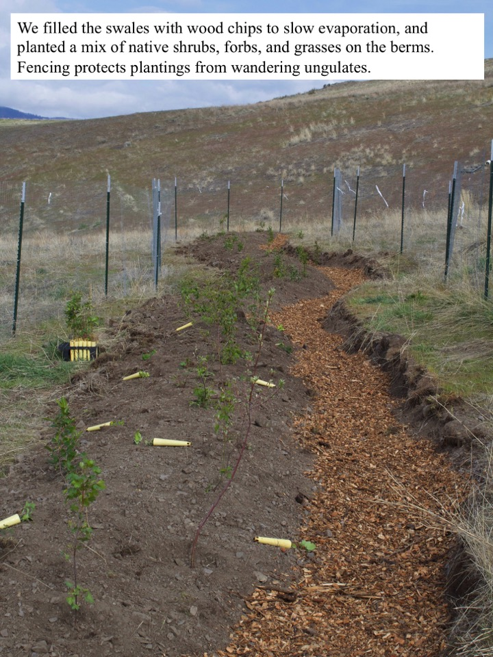 We filled the swales with wood chips to slow evaporation, and planted a mix of native shrubs, forbs, and grasses on the berms.