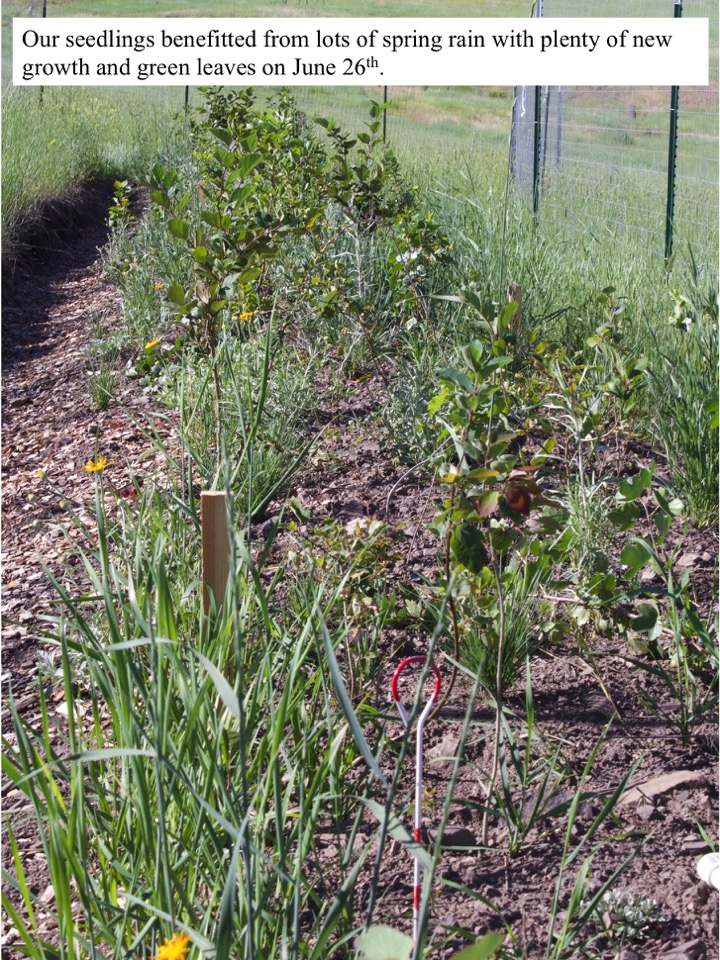 Our seedlings benefitted from lots of spring rain with plenty of new growth and green leaves on June 26th.