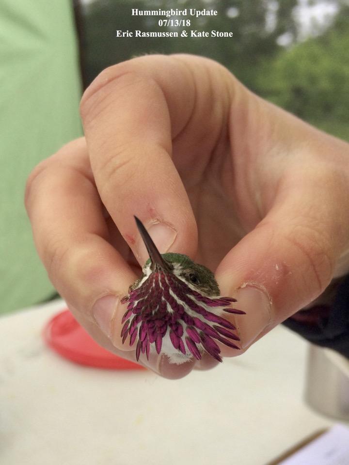 Hummingbird Update 07/13/18 Eric Rasmussen & Kate Stone