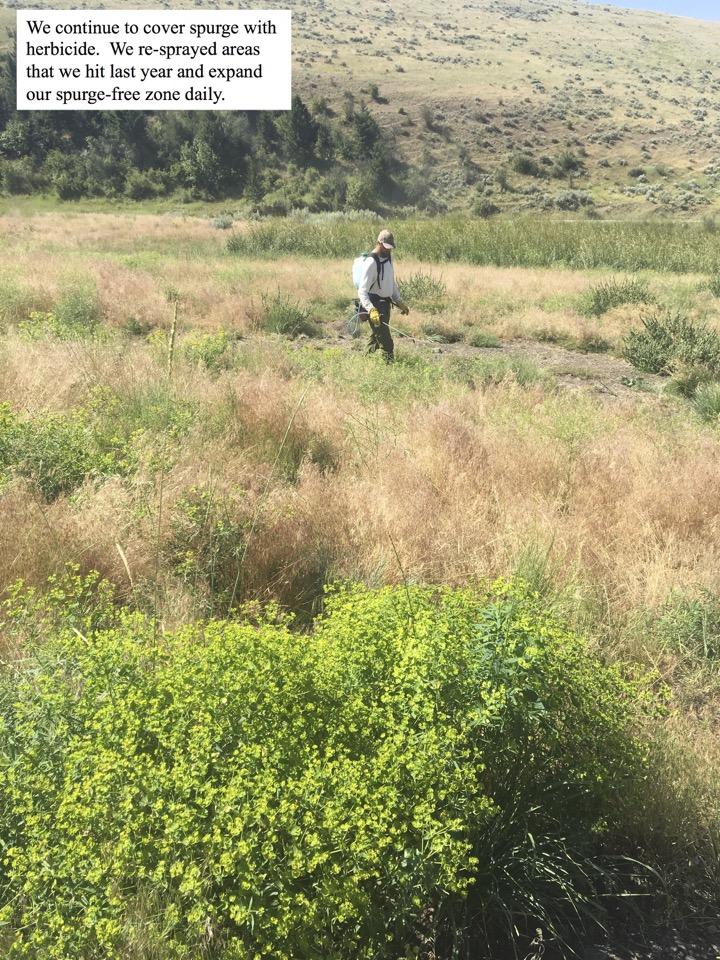 We continue to cover spurge with herbicide.