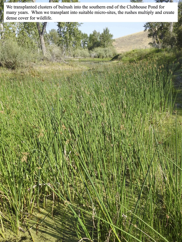 We transplanted clusters of bulrush into the southern end of the Clubhouse Pond for many years.
