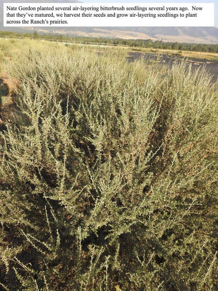 Nate Gordon planted several air-layering bitterbrush seedlings several years ago.