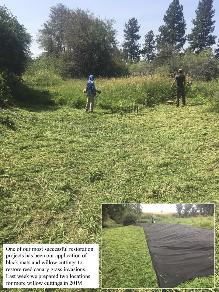 One of our most successful restoration projects has been our application of black mats and willow cuttings to restore reed canary grass invasions