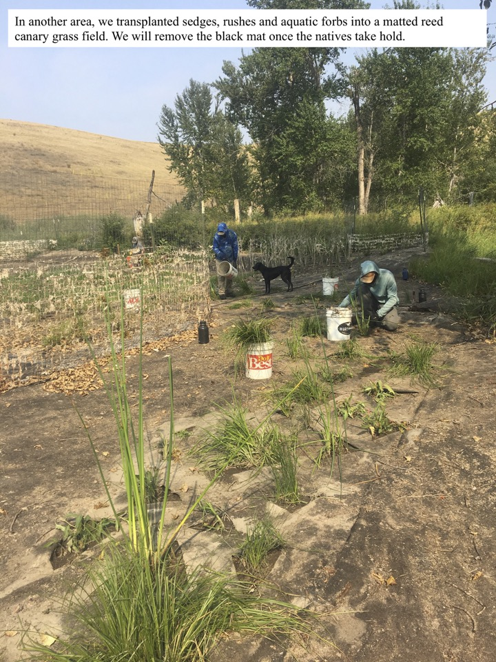In another area, we transplanted sedges, rushes and aquatic forbs into a matted reed canary grass field. We will remove the black mat once the natives take hold.