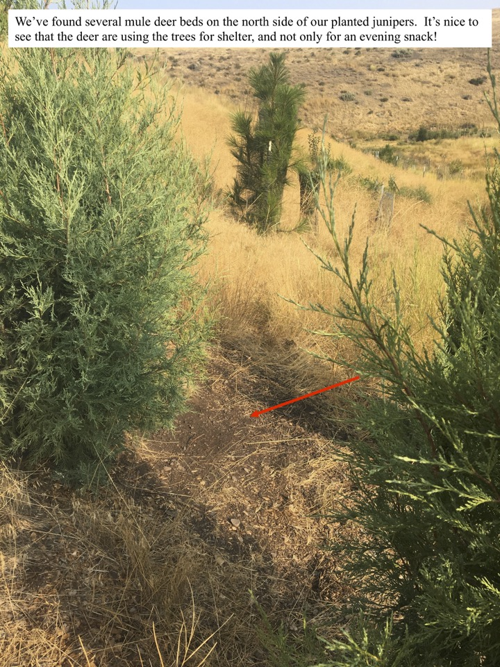 We've found several mule deer beds on the north side of our planted junipers