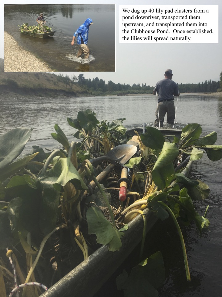 We dug up 40 lily pad clusters from a pond downriver, transported them upstream, and transplanted them into the Clubhouse Pond. Once established, the lilies will spread naturally.