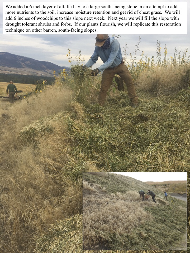 We added a 6 inch layer of alfalfa hay to a large south-facing slope in an attempt to add more nutrients to the soil, increase moisture retention and get rid of cheat grass.