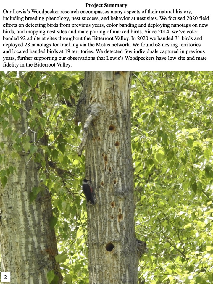 Our Lewis's Woodpecker research encompasses many aspects of their natural history, including breeding phenology, nest success, and behavior at nest sites.
