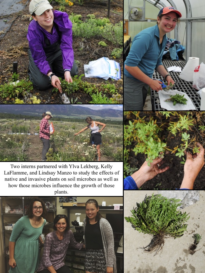 Two interns partnered with Ylva Lekberg, Kelly LaFlamme, and Lindsay Manzo to study the effects of native and invasive plants on soil microbes as well as how those microbes influence the growth of those plants.