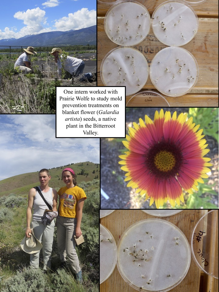 One intern worked with Prairie Wolfe to study mold prevention treatments on blanket flower (Galardia artista) seeds, a native plant in the Bitterroot Valley.