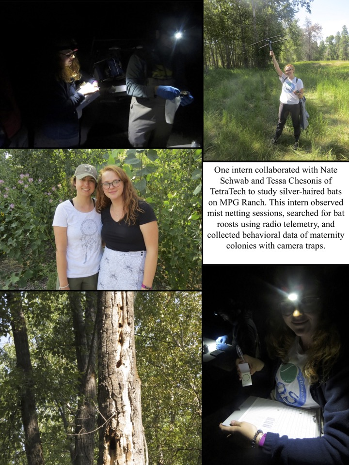 One intern collaborated with Nate Schwab and Tessa Chesonis of TetraTech to study silver-haired bats on MPG Ranch. This intern observed mist netting sessions, searched for bat roosts using radio telemetry, and collected behavioral data of maternity coloni